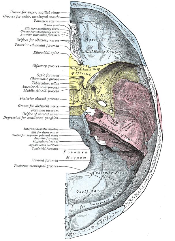 Occipital Artery Occipital Artery | neu...