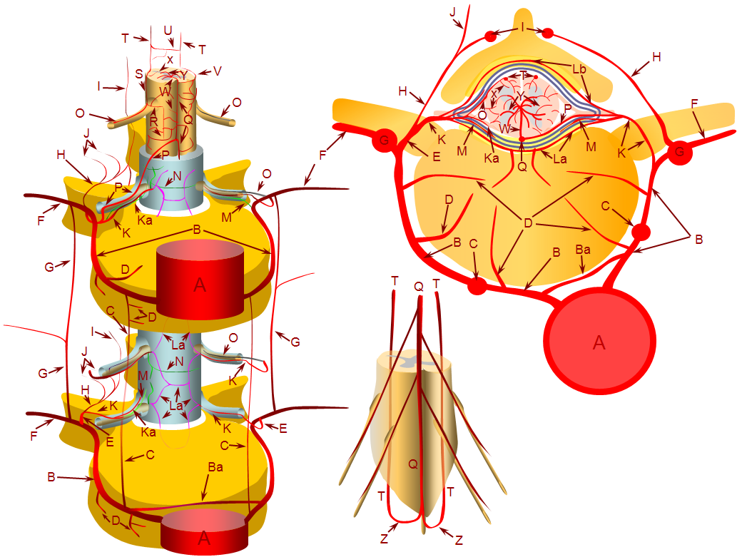 spinal arterial diagram