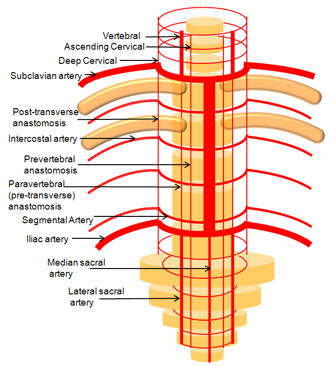 Lumbar arteries