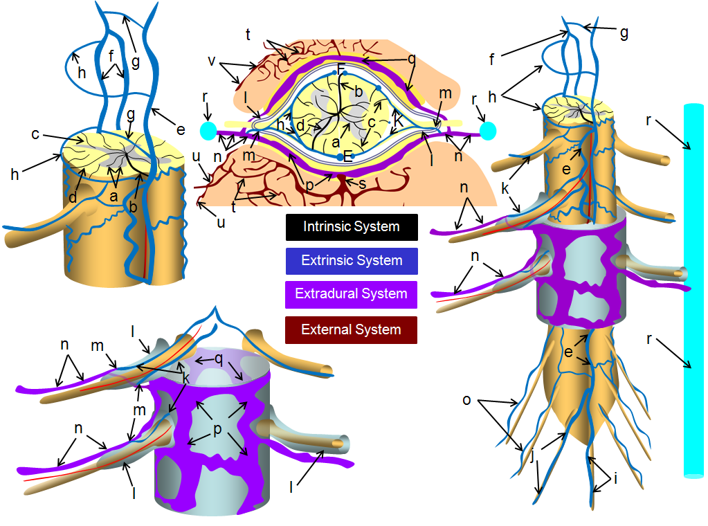Spinal Venous Anatomy | neuroangio.org