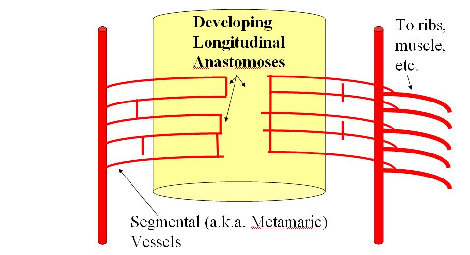 Spinal Arterial Anatomy Neuroangio